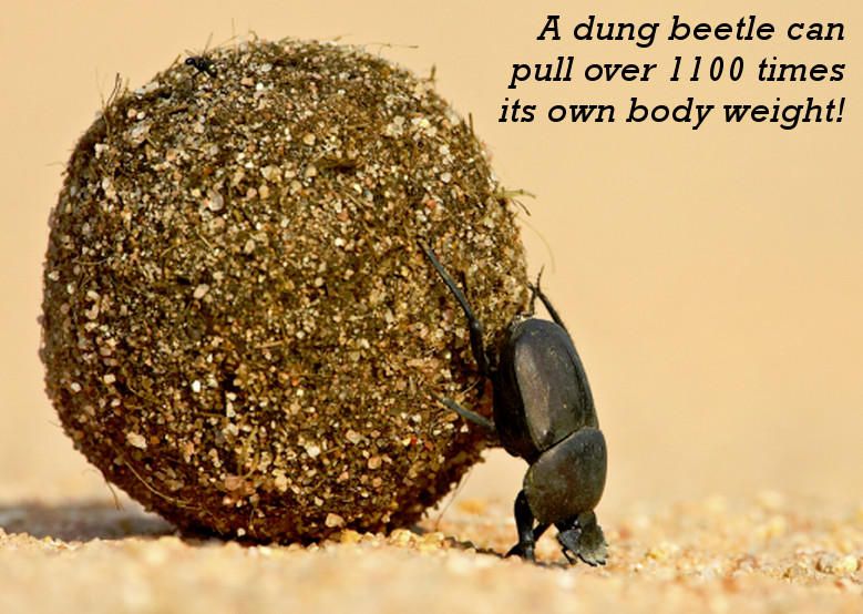 Dung Beetle is the World's Strongest Animal